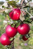 Apples in the ecological orchard Royalty Free Stock Photos