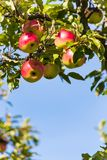 Apples in the fall on an apple tree Royalty Free Stock Images