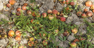Apples fallen from the apple to the ground Royalty Free Stock Photo
