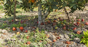 Apples fallen from the apple to the ground Stock Photos
