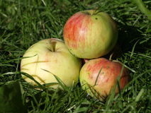 Apples. Fallen apples on the grass Stock Photo