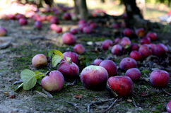 Apples Fallen From The Tree Stock Image