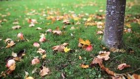 Apples fallen under autumn tree. Season, nature and environment concept - apples fallen under autumn tree stock video footage