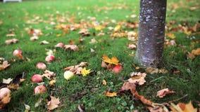 Apples fallen under autumn tree. Season, nature and environment concept - apples fallen under autumn tree stock video