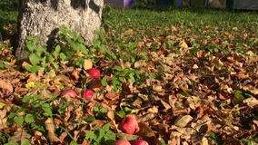 Apples falling from apple tree stock footage