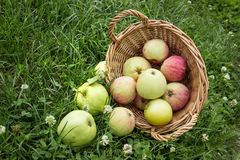 Apples fell from the basket on the grass Stock Image
