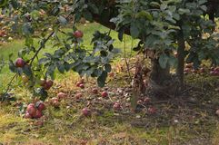 Apple tree. Apples on the floor sagging branches red fruit Royalty Free Stock Images