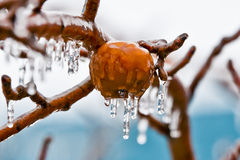 Apples in freezing rain. The beginning of the freezing rain Royalty Free Stock Images