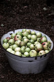 Apples. Fresh apples stored in a tin bath Royalty Free Stock Photos