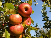 Apples. Fruits on the trees Stock Photo