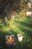 Apples in the garden in autumn Royalty Free Stock Photo