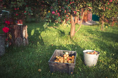 Apples in the garden in autumn. Yield of apples in the garden in autumn Stock Image