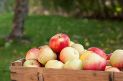 Apples in a garden Stock Images