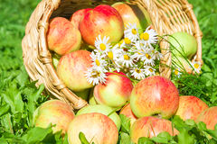 Apples in a garden on a green grass Stock Images