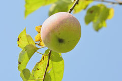 Apples in the garden Royalty Free Stock Photography