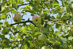 Apples in the garden Stock Images