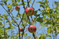 Apples in the garden Royalty Free Stock Image