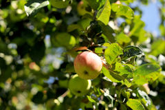 Apples. In the garden. Summer time Royalty Free Stock Image