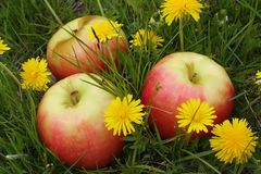 Apples on a glade with dandelions Royalty Free Stock Photos