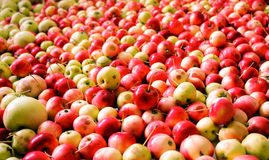 Apples. Good autumn apple harvest! Now there will be enough vitamins on longly stock photography