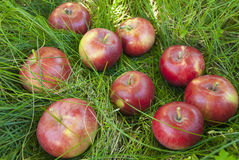 Apples in the grass. Red apples lie on the green grass Stock Photos