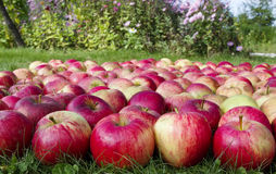 Apples on grass Stock Images