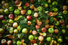 Apples on a grass. Fresh apples, lyings on a grass nin a gardenn Royalty Free Stock Images
