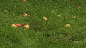 Apples in the grass. Landscape. stock footage