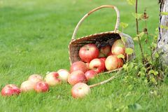Apples on the grass Royalty Free Stock Photo