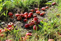 Apples on the grass Royalty Free Stock Image