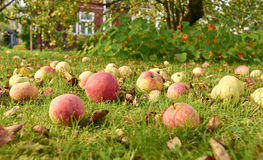 Apples on the grass Stock Photos