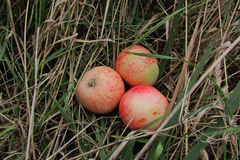The apples on the grass. Three ripe Apple lie on the grass Stock Photography