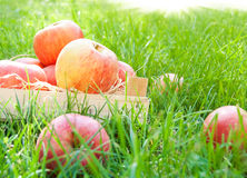 Apples on grass Stock Image