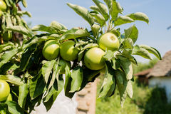 Apples. Green apples on a branch Royalty Free Stock Photo