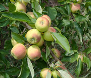 Apples. Green apples on the branch of an apple tree Stock Images