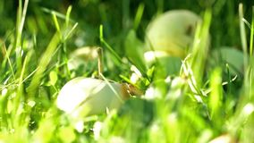 Apples in green grass at the end of summer stock footage