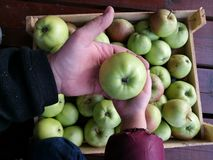 Apples. Green apples in human hands Stock Images