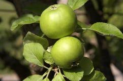 apples green two Στοκ εικόνες με δικαίωμα ελεύθερης χρήσης