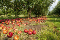 Apples on the ground. Apples covering the ground at an apple orchard in Kentucky Royalty Free Stock Image
