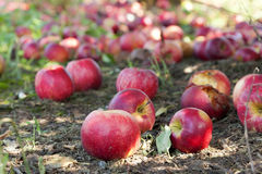 Apples on the ground. Apples covering the ground at an apple orchard in Kentucky Stock Photography