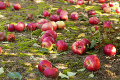 Apples on the ground Royalty Free Stock Photo