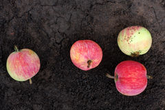 Apples on the ground Stock Image
