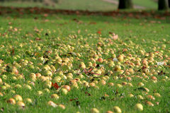Apples On The Ground. Apples covering the ground Stock Photography