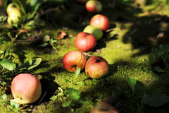Apples. In the ground. Summer time Stock Photos