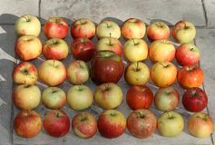 35 apples on the ground royalty free stock photography