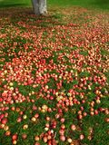 Apples on the Ground with Tree Royalty Free Stock Photography