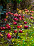 Apples. On the ground under trees stock images