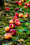 Apples. On the ground under trees royalty free stock photography