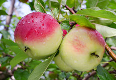 Apples grow on a branch Royalty Free Stock Images