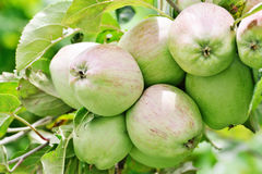 Apples growing on apple tree branch in summer Stock Image